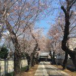 大興寺のさくらが咲きそうです!